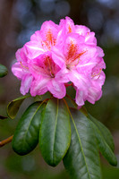 Rhodie Collection I