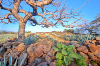Tree & Rocks in Agave Field